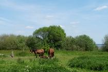 Fleesensee Pferde am Ufer