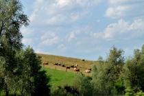 Feldberger Seenland Blankensee Kühe